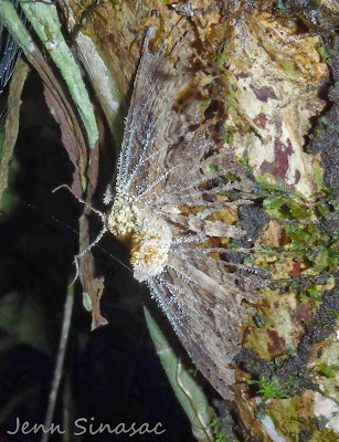 Cordyceps moth