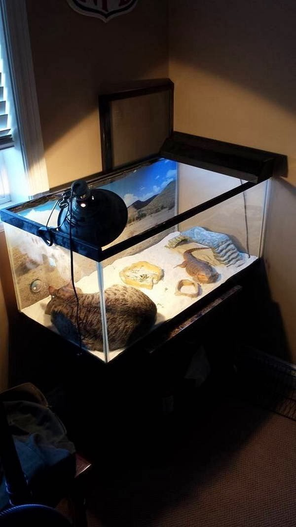 Funny cats - part 89 (40 pics + 10 gifs), cat sleeps inside lizard aquarium