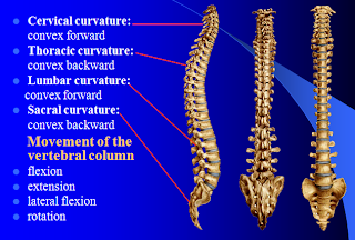 Vertebral Column Curves | RM.
