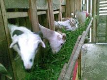 koleksi kambing