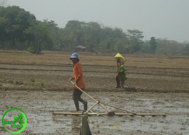 FOTO : Mang Yanto sedang NAPLAK atau membuat garisan di sawah admin yang selesai di sorogan / diratakan.