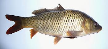 Pullu ve pulsuz sazan balığı hakkında bilgi