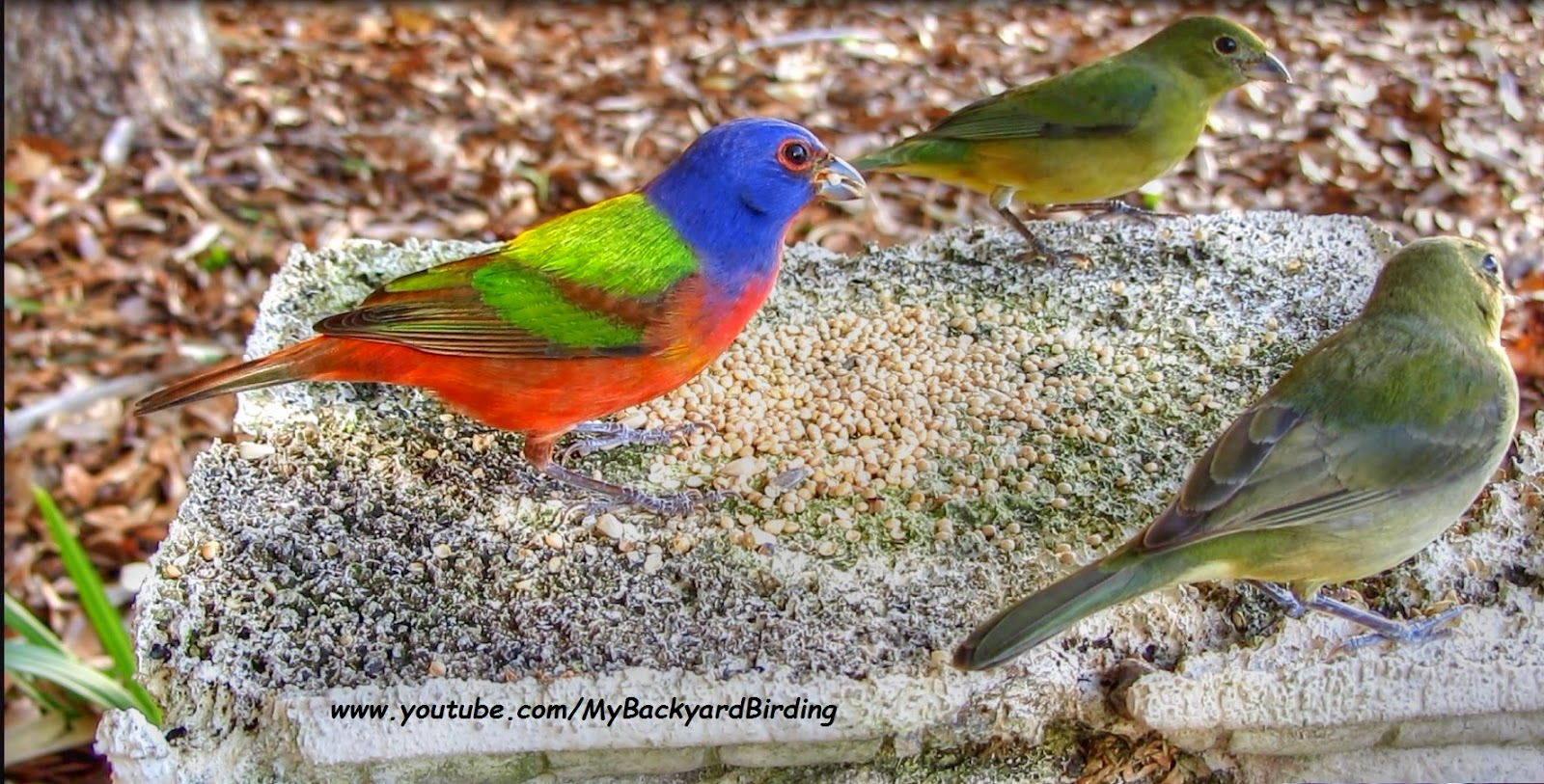 Painted Buntings in Florida