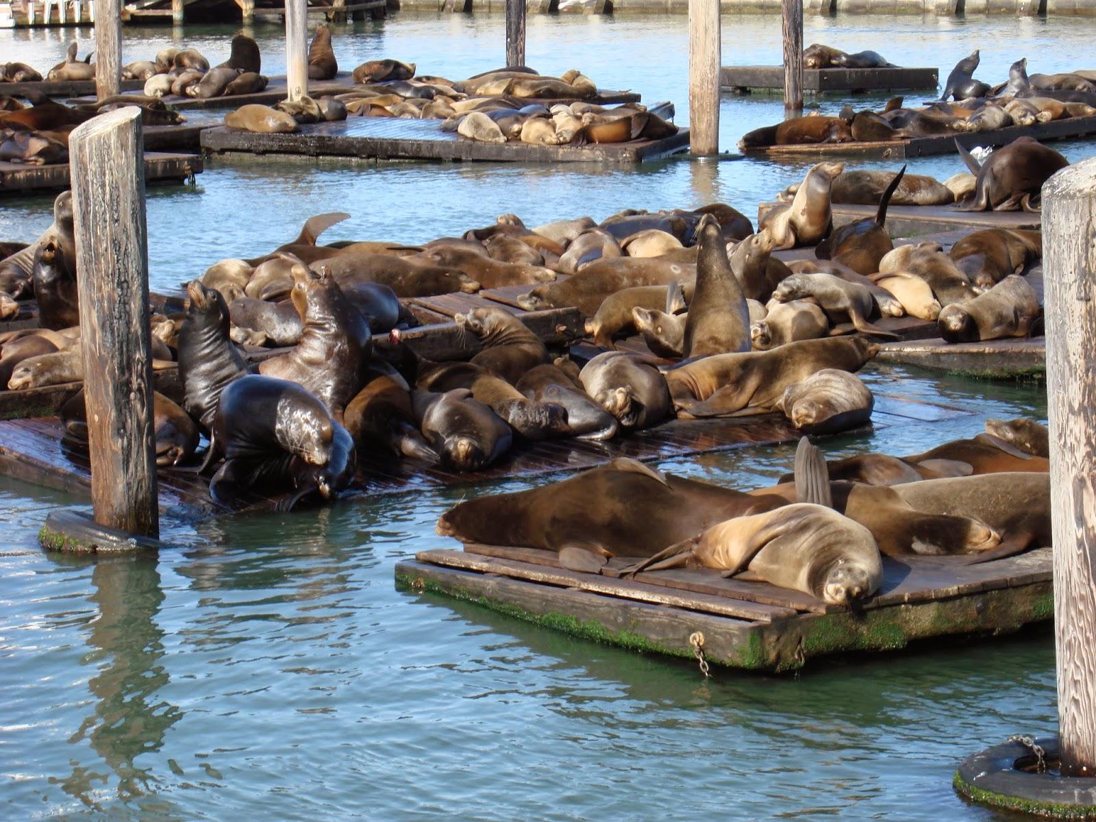 Seals at Fisherman's Warf