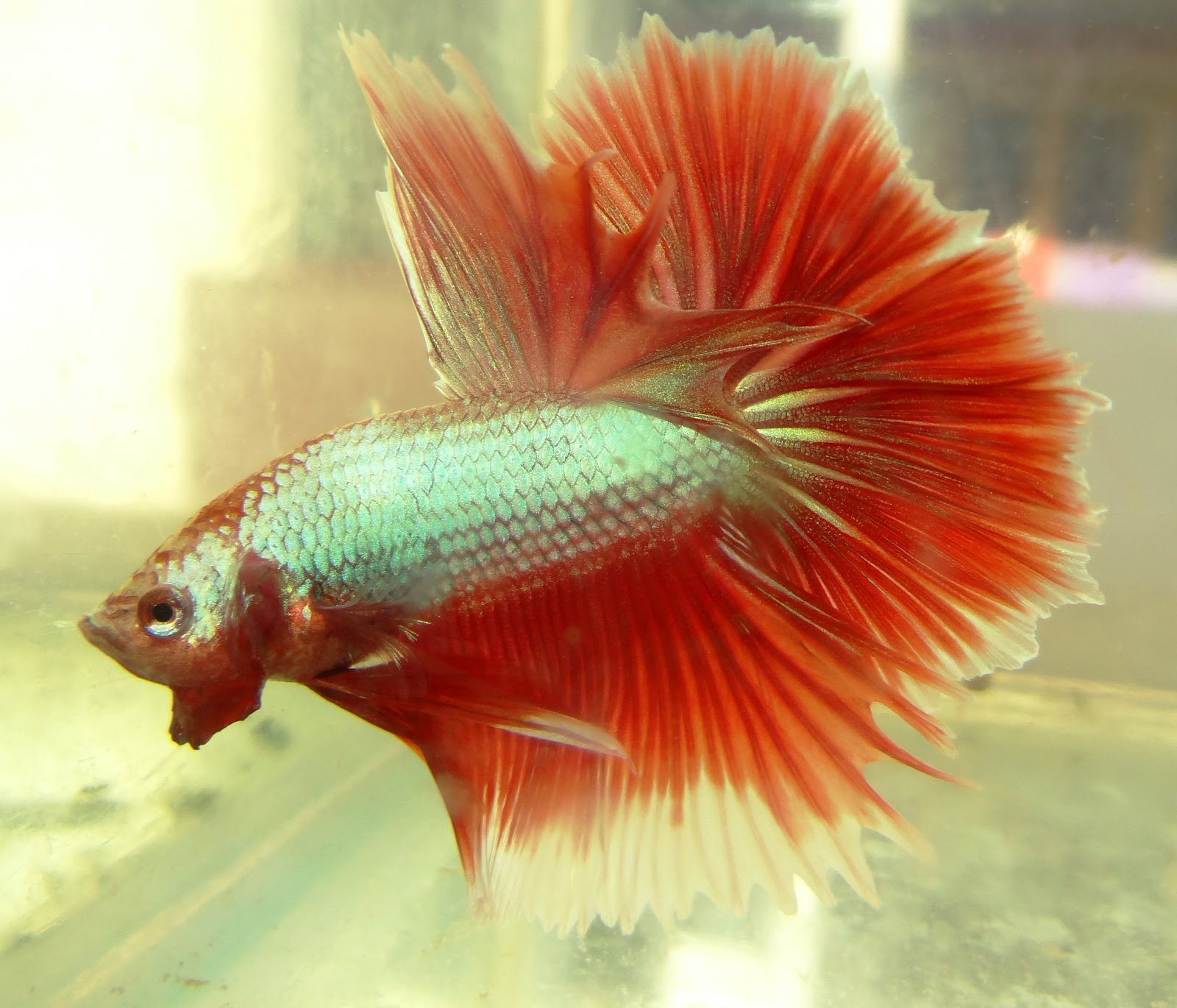 Betta / Fighter fish keeping and Breeding : 2013