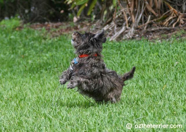 Oz the Terrier enjoys chasing birds in the back yard
