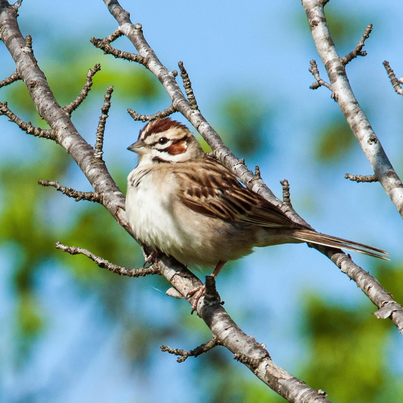 Lark Sparrow, Ennis
