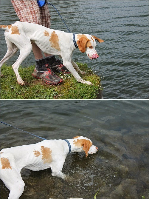 english pointer puppy trying to swim