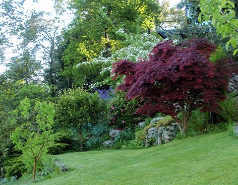 Cer japon s cer palmatum atropurpureum for Arboles jardin japones