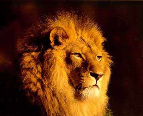 Lion: King of Forest