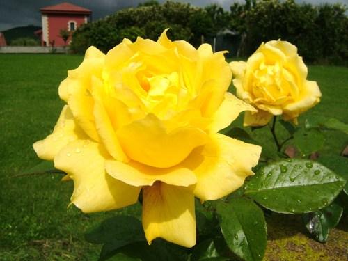 El sentido del saber el significado de las rosas por su color - Significado rosas amarillas ...