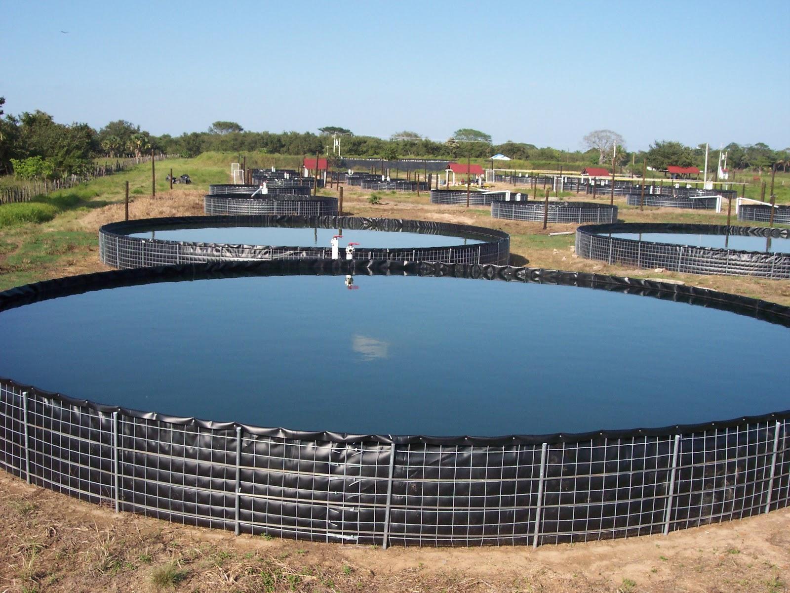 Tangeomex for Criadero de camaron en estanques circulares