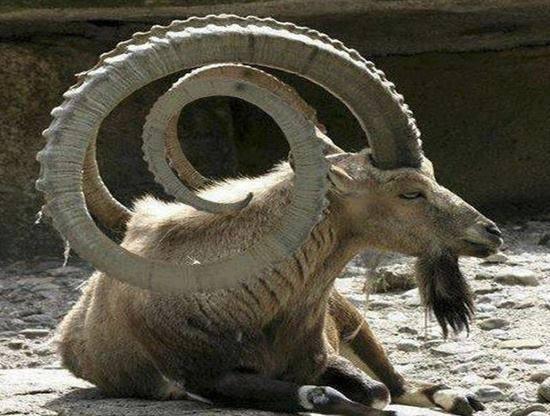 Ibex Goat Inspirational M...