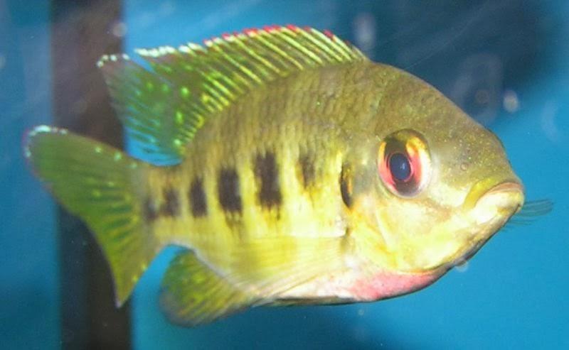 Akvaryum tilapiini balığı hakkında bilgi