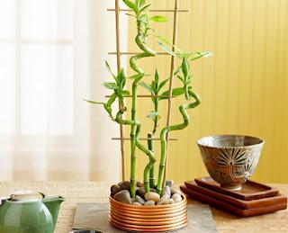 Các loại cây phong thủy trong nhà - Cây phát tài
