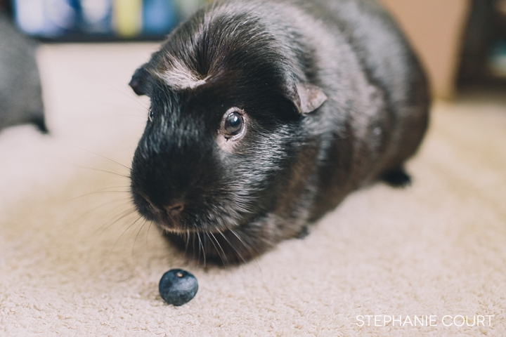 guinea pig with blueberry