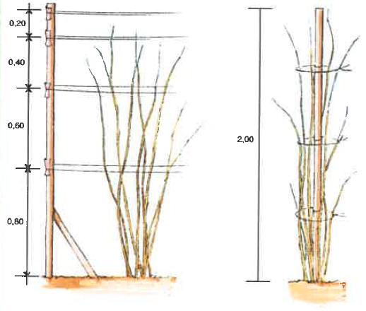 Tutoriel pour planter un framboisier les carnets de georges delbard - Ou planter un framboisier ...