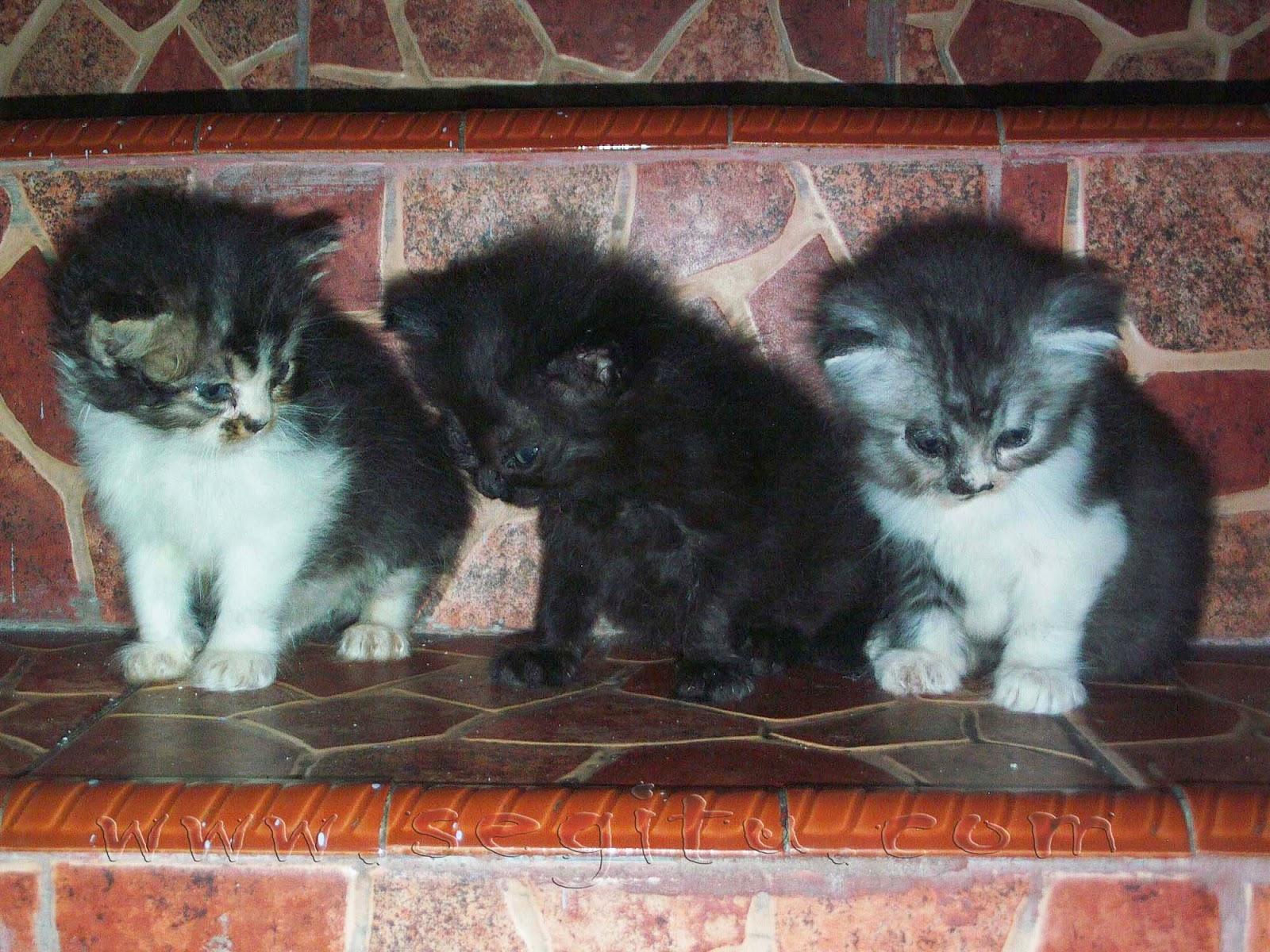 Budidaya Kucing Persia Anggora Kucing Persia