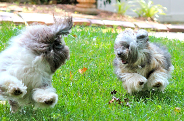 Rocco and Nicky Havanese