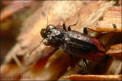Skrejvabole Notiophilus biguttatus