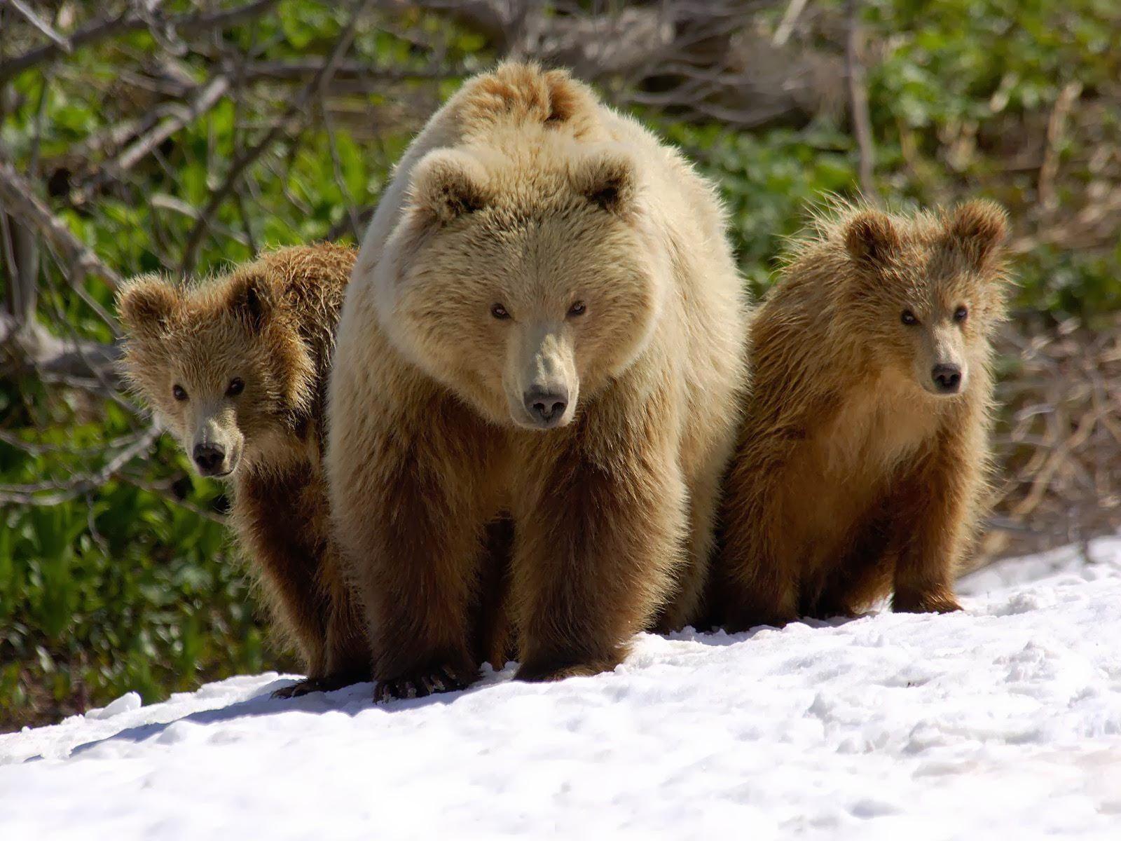 Brown Bear Images