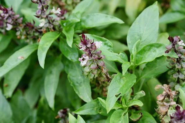 Khasiat Dan Manfaat Biji Bunga Selasih Untuk Kesehatan