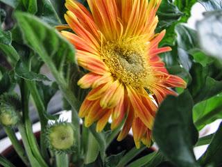 гербера, горшечные цветы, цветы, садовые цветы, уличные цветы,