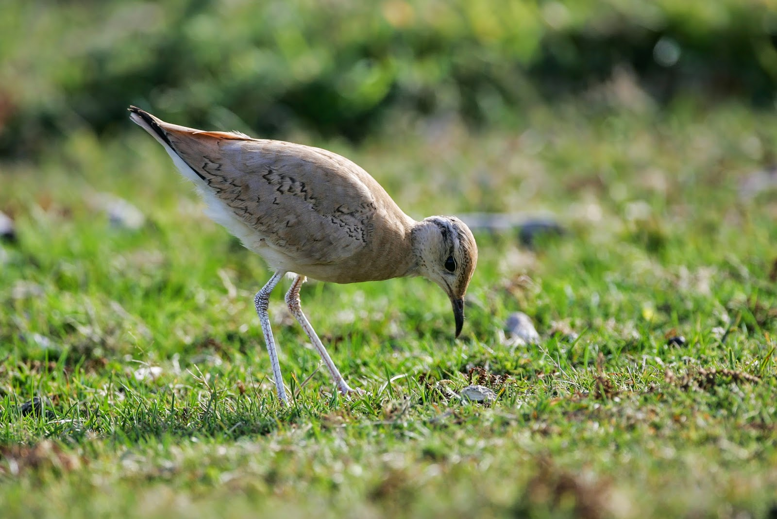 Cream-coloured Courser - Isles of Scilly - Simon Colenutt
