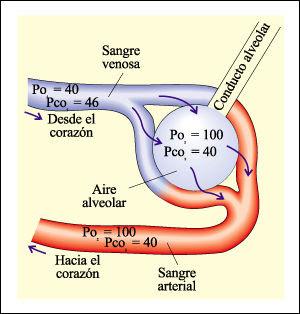 Arco Gas >> Biología Humana: SISTEMA RESPIRATORIO: Fisiología