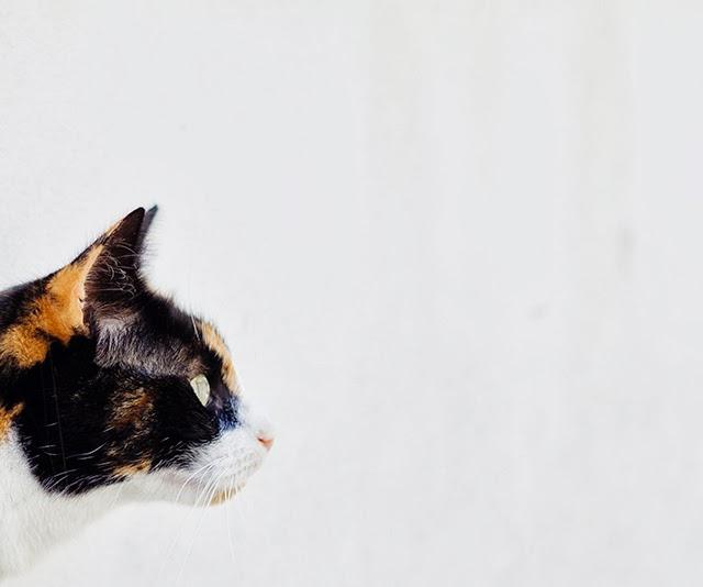head of calico cat