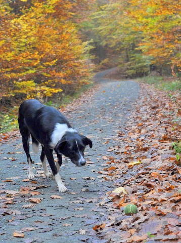 Ralph the Border Collie x, in forest, Frankfurt