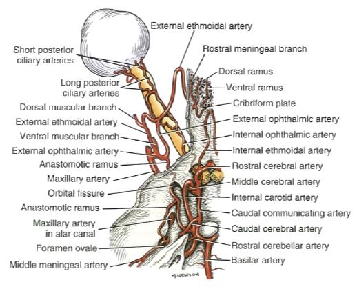 Eye Opener: Anatomy - Blood supply to the eye