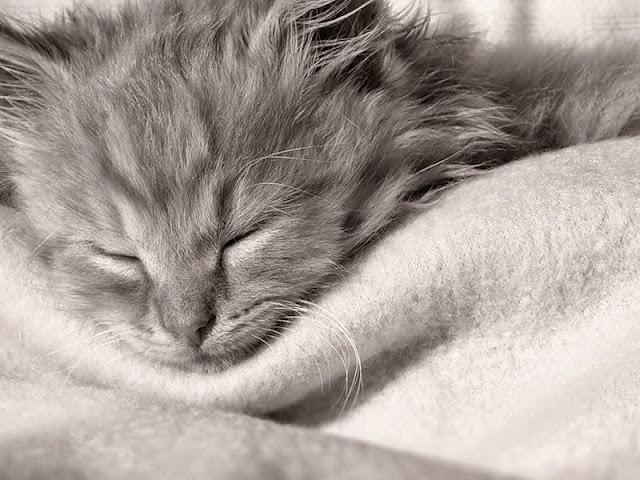 чёрно-елое фото спящего котёнка