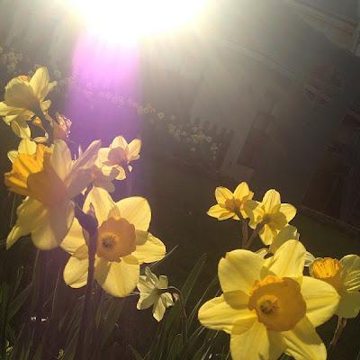 Sunshiny Daffodils