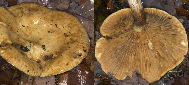 Brown Rollrim, Paxillus involutus (perhaps). Hayes Common, 13 December 2011.