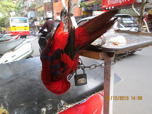 A chained parrot on a open air perch  in Hanoi.
