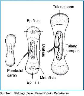 perkembangan pembentukan tulang