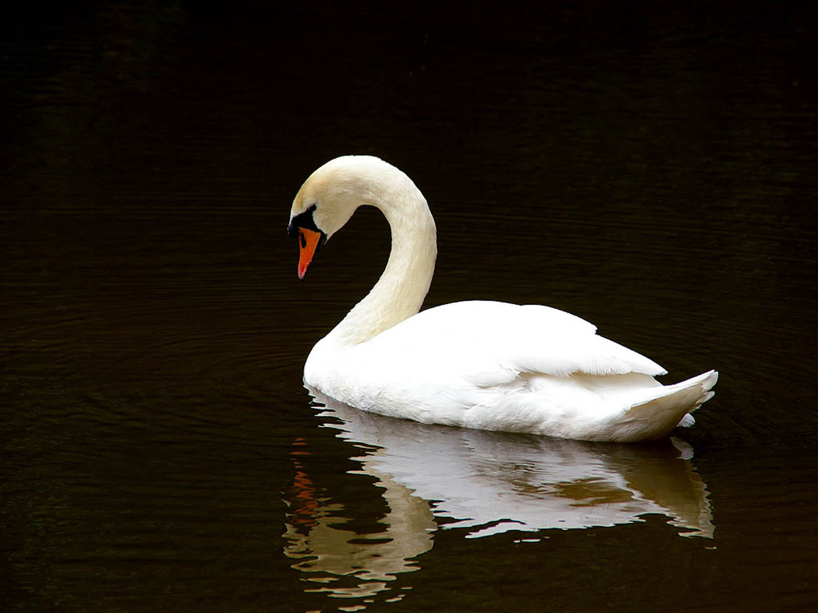 Swan Wallpapers HD Pictures One HD Wallpaper Pictures Backgrounds