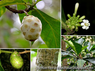 Great Morinda (Morinda citrifolia)