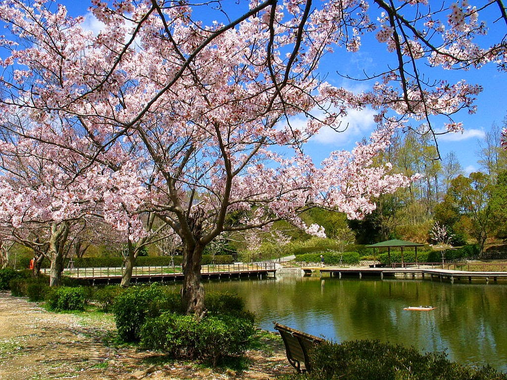 Download image Gambar Taman Bunga Sakura Wallpaper Lovers PC, Android ...