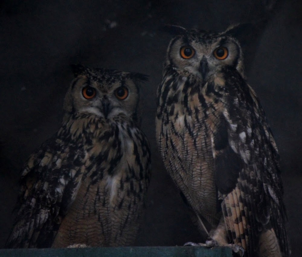 Owls at Katraj Zoo