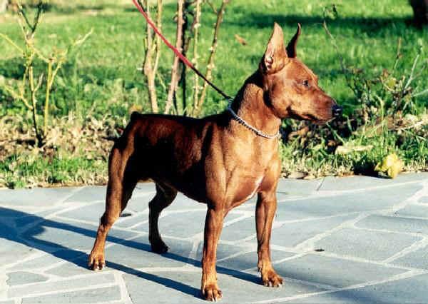 Universo cani zwergpinscher pinscher nano for Pinscher medio