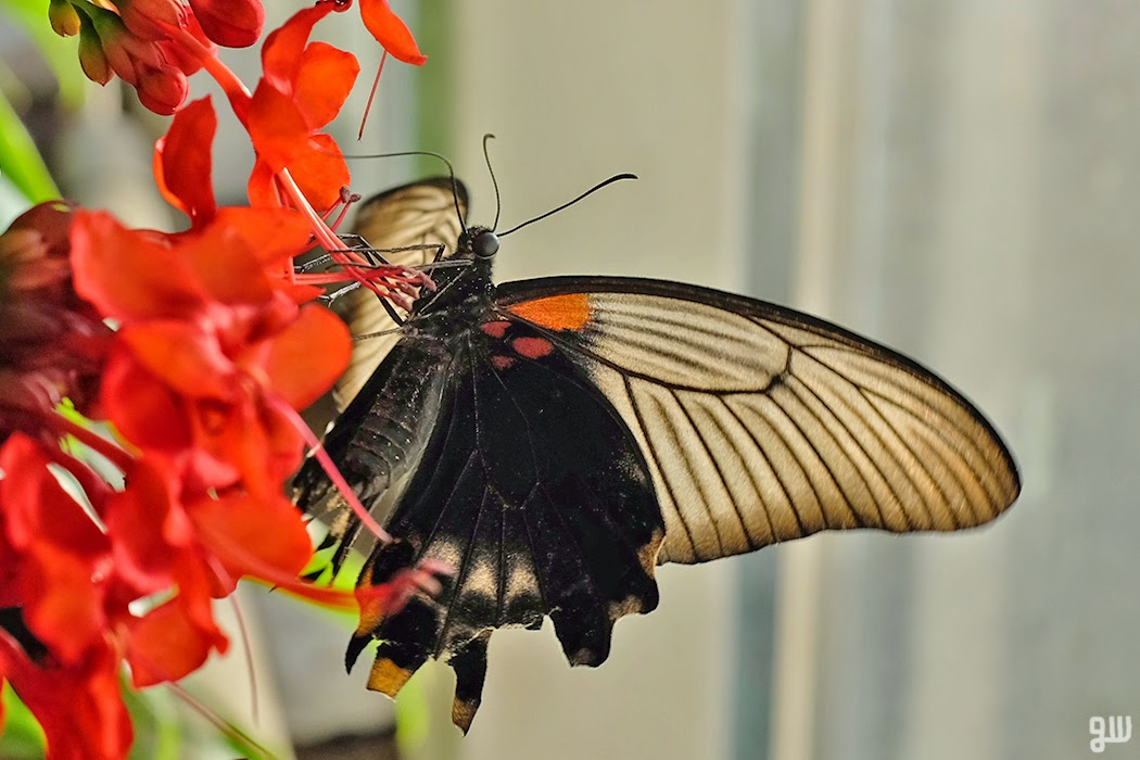 Papilio rumanzovia - ©2015 Graeme Walker-Garden Photography,Plants,Geology,Creatures