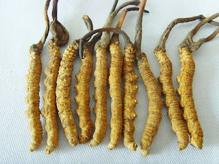 Cordyceps sinensis for Allergy and asthma