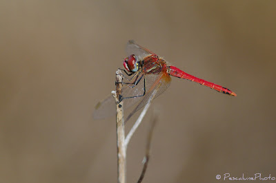 Sympetrum fonscolombii, Sympétrum à nervures rouges mâle, Male Red-veined darter