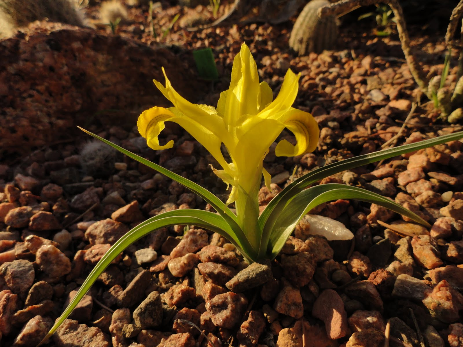 Prairiebreak: Coming full circle: Iris orchoides blooms for the ...