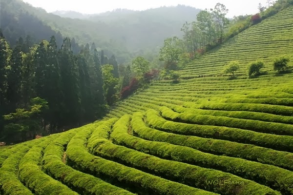 Fields+of+Tea.jpg