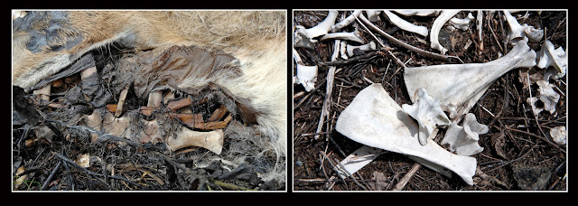 Nova Scotia; Deer; Death; Decay; Bones