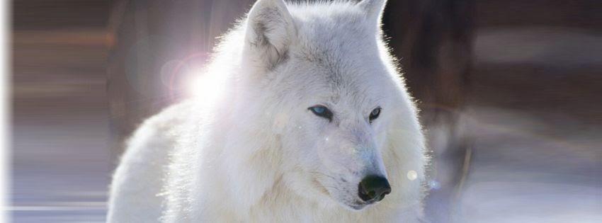 Couverture pour facebook loup blanc