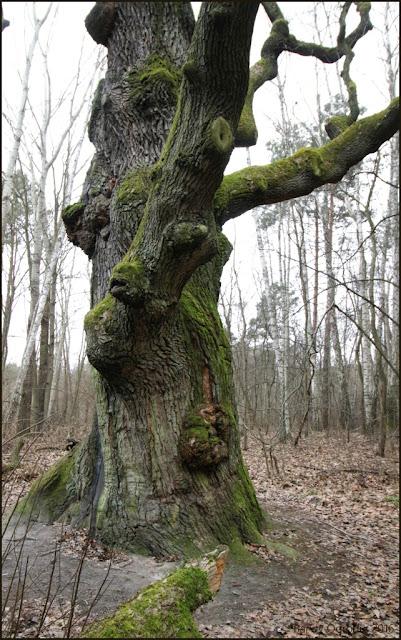 dab pomnik przyrody